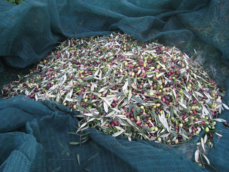 Kalyvitis, onze olijven