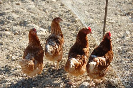 The bossy chicken at Kalyvitis