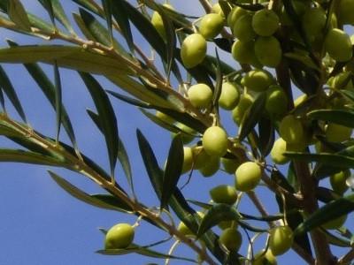 olijven kalyvitis kreta 6.jpg
