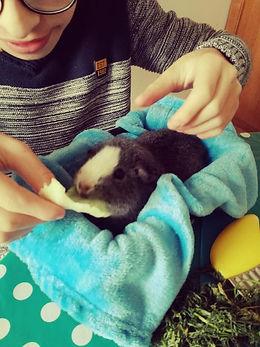 Médiation animale cochon d'inde