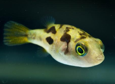 Dwarf Pufferfish Care Sheet