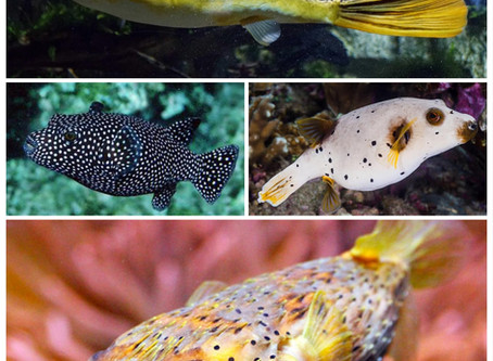 Common misconceptions about pufferfish