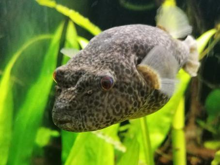 Pao Baileyi Pufferfish Care Sheet