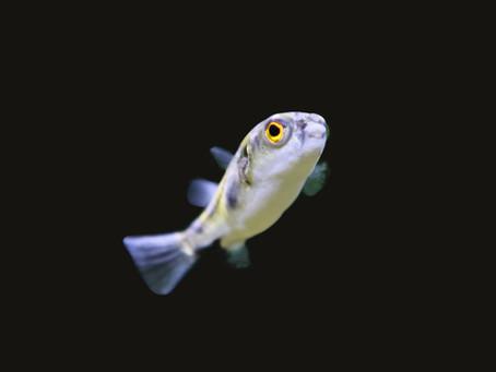 Amazon Pufferfish Care Sheet