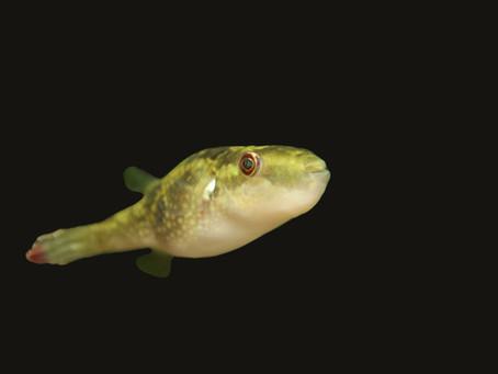 Leiodon Cutcutia Pufferfish Care Sheet