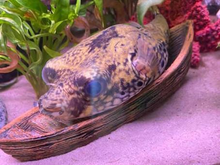 Pao Palembangensis Pufferfish Care Sheet