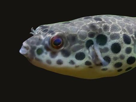 Tetraodon Schoutedeni Pufferfish Care Sheet