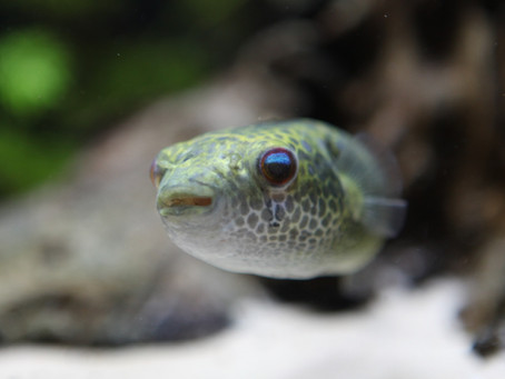Pao Turgidus Pufferfish Care Sheet