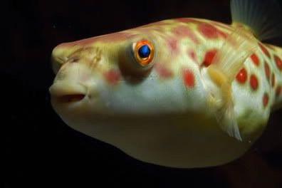 Tetraodon Pustulatus Pufferfish Care Sheet