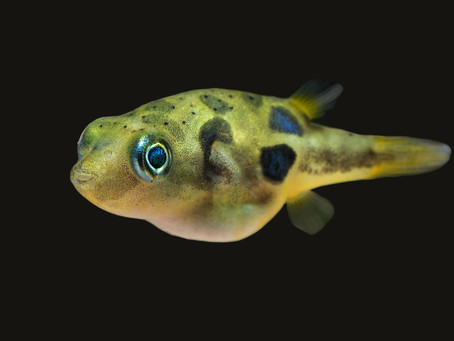 Pea Puffer Care Sheet