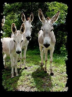 St.-John-wild-donkeys.png