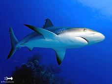 Cane Bay Shark Dive Virgin Islands