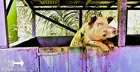 Beer Driking Pigs St. Croix