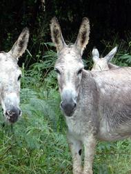 Local Donkeys