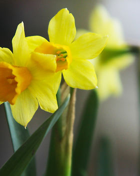 Narciso amarelo