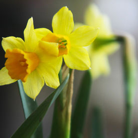 Narzisse, Pflanzen-Quiz