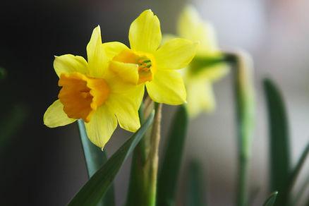 Daffodils at Killingbeck Community Centre