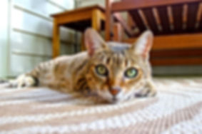 animal-carpet-cat-9805.jpg