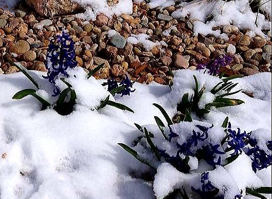 Snow, Spring, Hyacinth, Stones