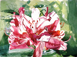 Rhododendron Watercolour 26 x 41 cm.jpg