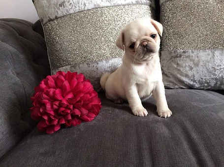PUG PUPPIS FOR SALE