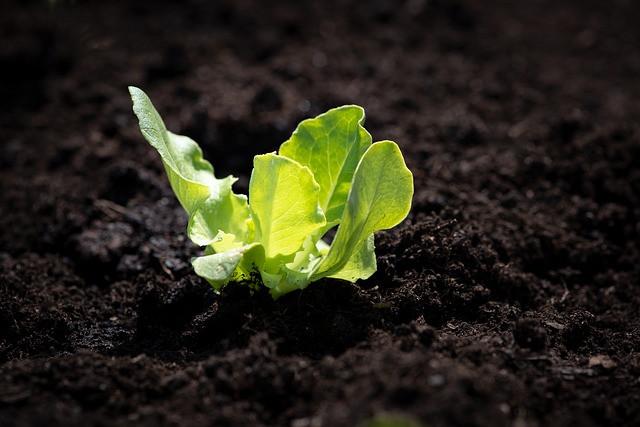 lettuce-seedling-4134906_640.jpg