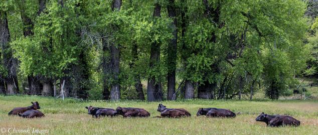 Vacas en Reposo