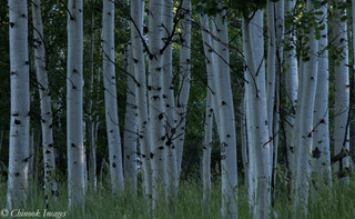 Aspens at Dawn, WRNF