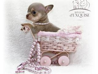 chihuahua ultra miniature5.jpeg