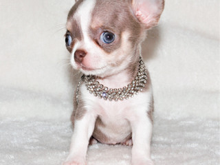 chihuahua extra miniature femelle.jpg