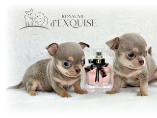 chihuahuas miniatures.jpeg