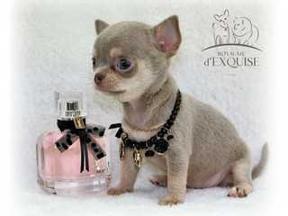 chihuahua extra miniature.jpeg