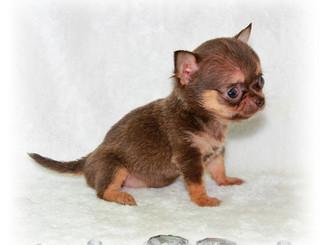 chihuahua ultra mini.jpg