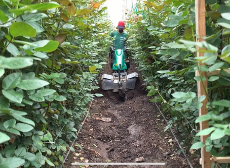 Motocultor en cultivo de Rosas