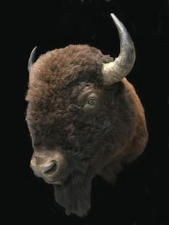 Bison mount