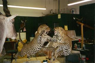 FIghting Leopards mount