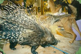 African Porcupine and Jackal