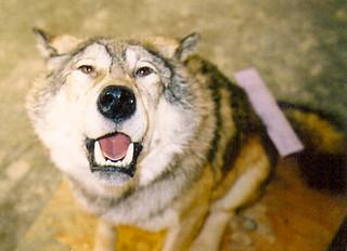 Wolf mount