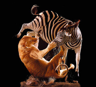 Lion attacking Zebra mount
