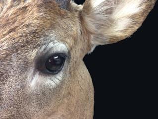 Close up Whitetail Deer mount