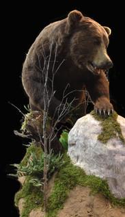 Life size Brown bear mount