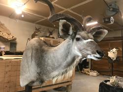 Kudu shoulder mount getting detail.