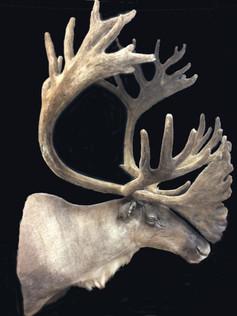 Monster caribou bull