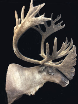 Caribou side