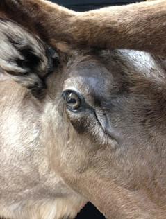Close up caribou