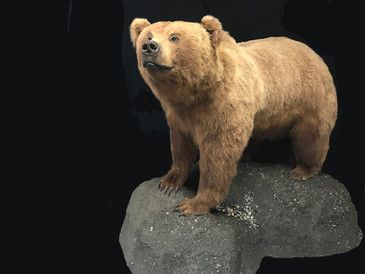 Penninsula Brown Bear