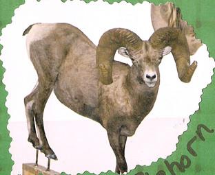 Desert Bighorn Ram