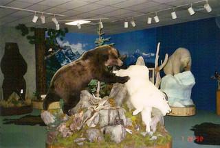 Brown bear chasing Mountain Goat
