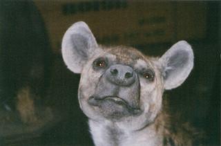 Hyena close up