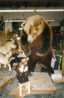 Wolverine fighting Brown Bear
